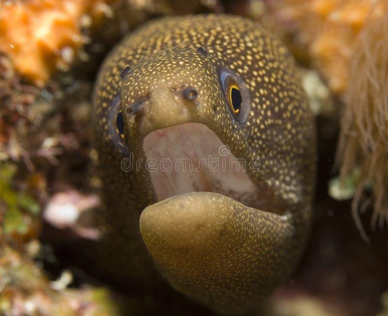 Goldentail Moray Eel. Gymnothorax miliaris royalty free stock photos