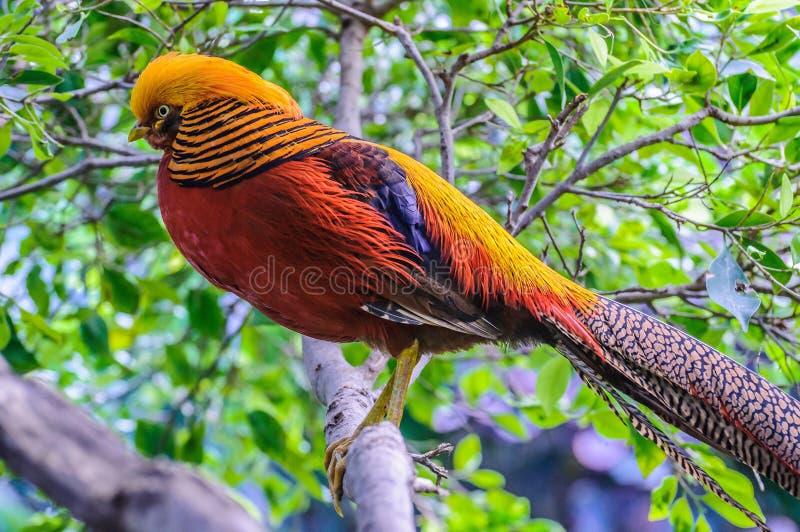 Goldern-Fasan in Loro Parque, Teneriffa, Kanarische Inseln lizenzfreie stockfotos