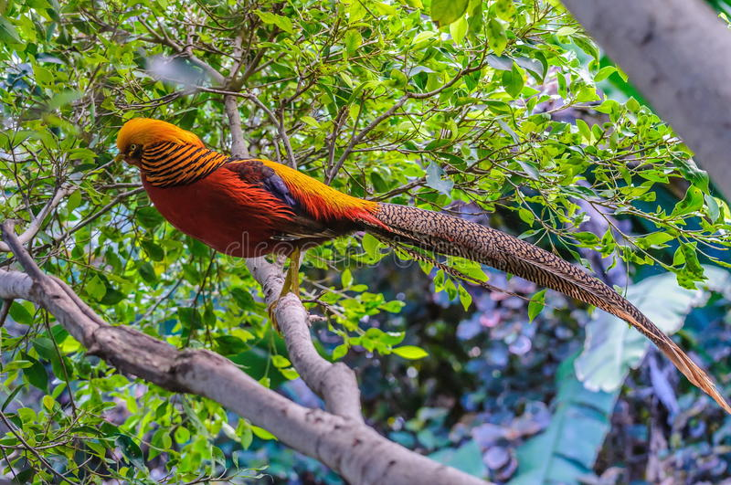 Goldern pheasant in Loro Parque, Tenerife, Canary Islands. Goldern pheasant in Loro Parque, Tenerife, Canary Islands stock photos