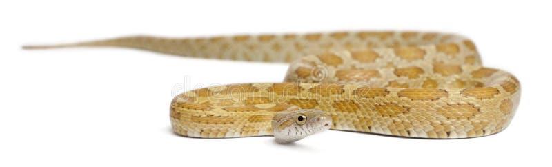 Goldest nieletni Kukurydzany wąż, Pantherophis guttatus zdjęcie stock