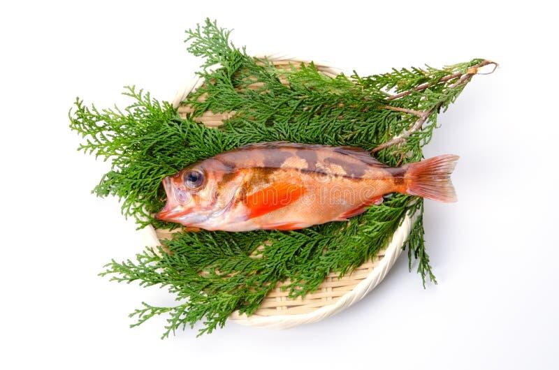 Download Goldeye Rockfish Stock Photo - Image: 23516440