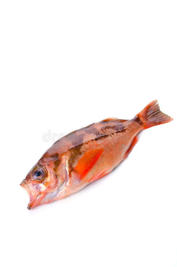 Download Goldeye rockfish stock photo. Image of prepared, scale - 23516490