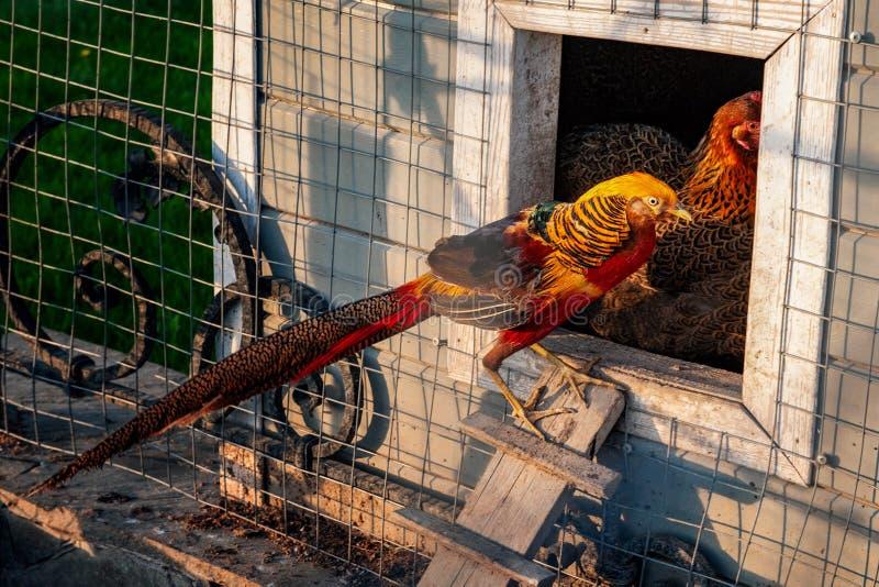 Goldfasan ist ein heller exotischer Vogel, der auf einem Bauernhof für das Züchten lebt lizenzfreies stockfoto