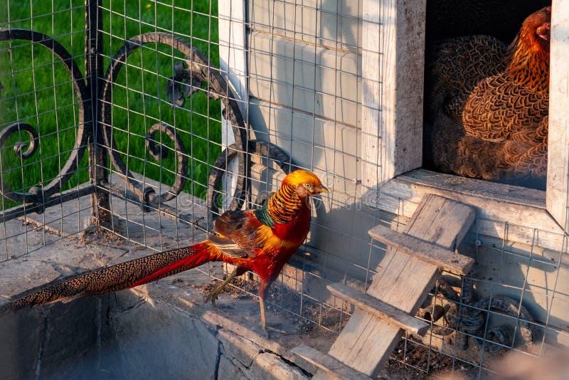 Goldfasan ist ein heller exotischer Vogel, der auf einem Bauernhof für das Züchten lebt lizenzfreie stockbilder