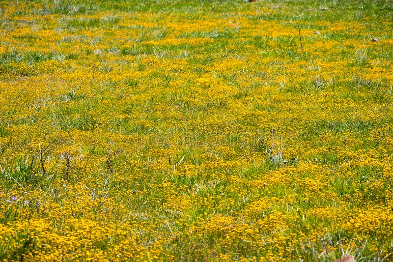 Goldfield wildflowers blooming on serpentine soil in south San Francisco bay area, San Jose, California; background for spring. Season stock image