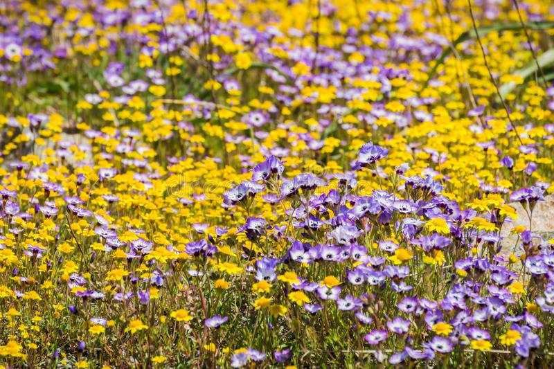 Goldfields and Gilia wildflowers blooming on a meadow, Henry W. Coe State Park, California stock photo