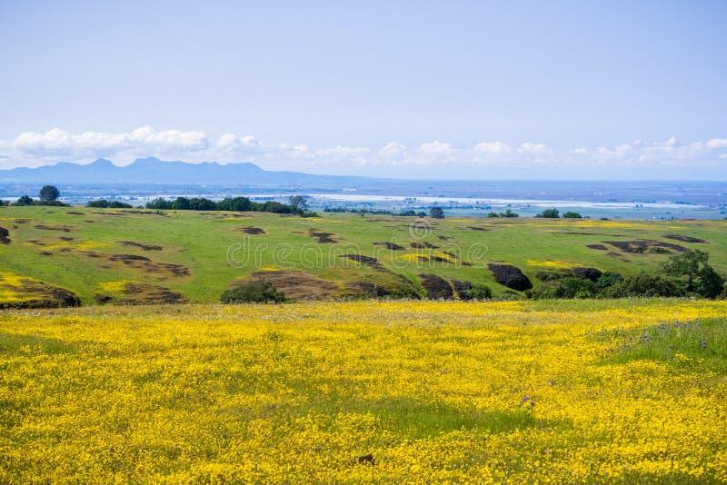 Goldfields wildflowers kwitnie na skalistej ziemi północ Zgłaszają górę, Oroville, Kalifornia obraz royalty free