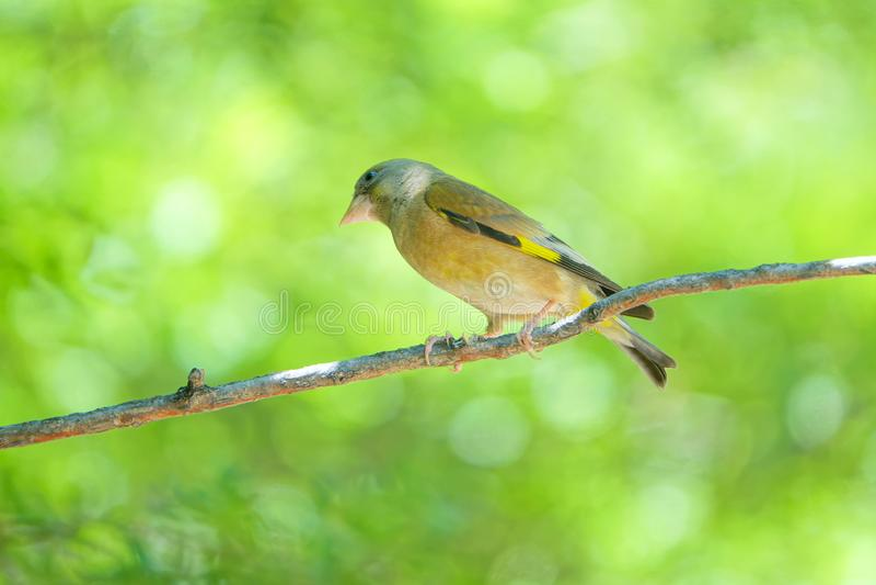 goldfinch στοκ εικόνα