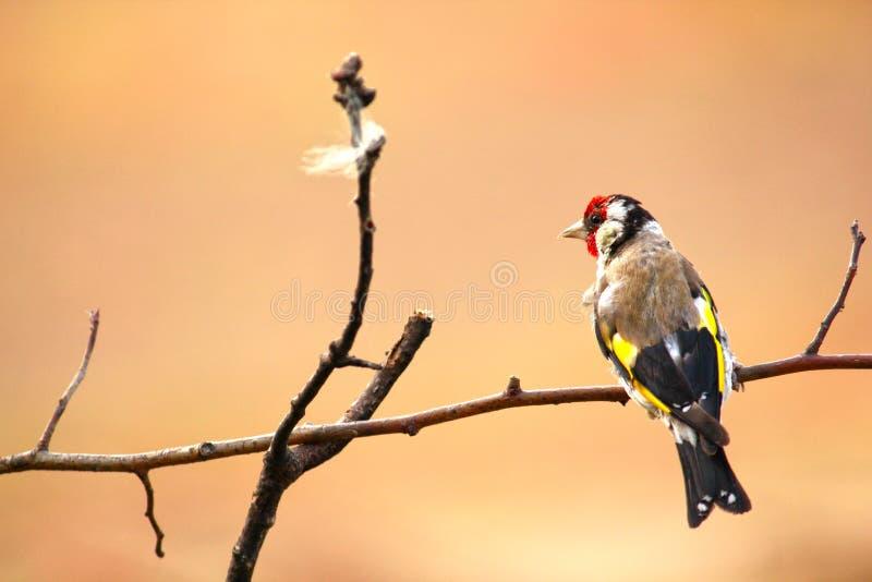 goldfinch Ένα όμορφο και ενοχλημένο πουλί στοκ εικόνα