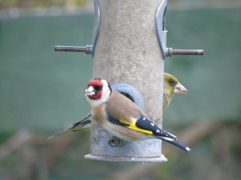 Goldfinch και Greenfinch στοκ εικόνα με δικαίωμα ελεύθερης χρήσης