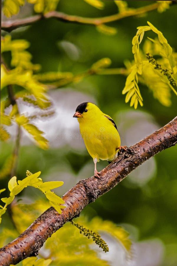 Goldfinch στην ακρίδα ηλιοφάνειας στοκ εικόνα με δικαίωμα ελεύθερης χρήσης