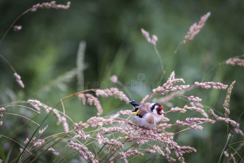 Goldfinch στη χλόη στο Χάιλαντς της Σκωτίας στοκ φωτογραφία με δικαίωμα ελεύθερης χρήσης