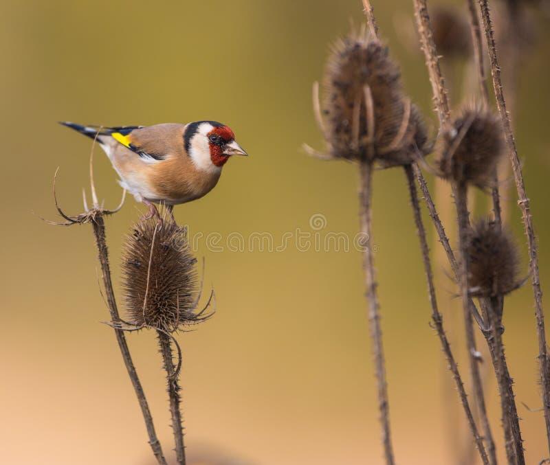 Goldfinch στις εγκαταστάσεις κάρδων στοκ εικόνες