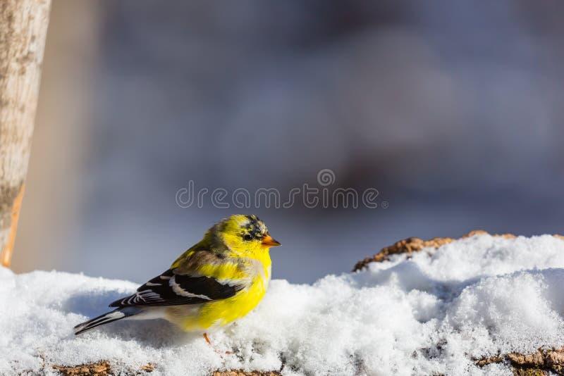 Goldfinch в снеге стоковая фотография