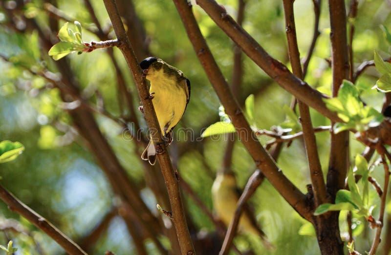 Goldfinch в яблоне стоковые фото