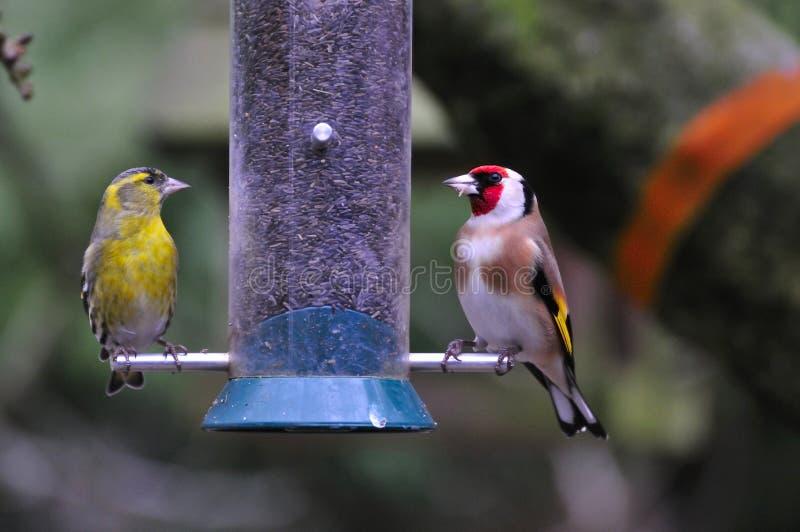 Goldfinch и мужской подавать Siskin. стоковые фотографии rf