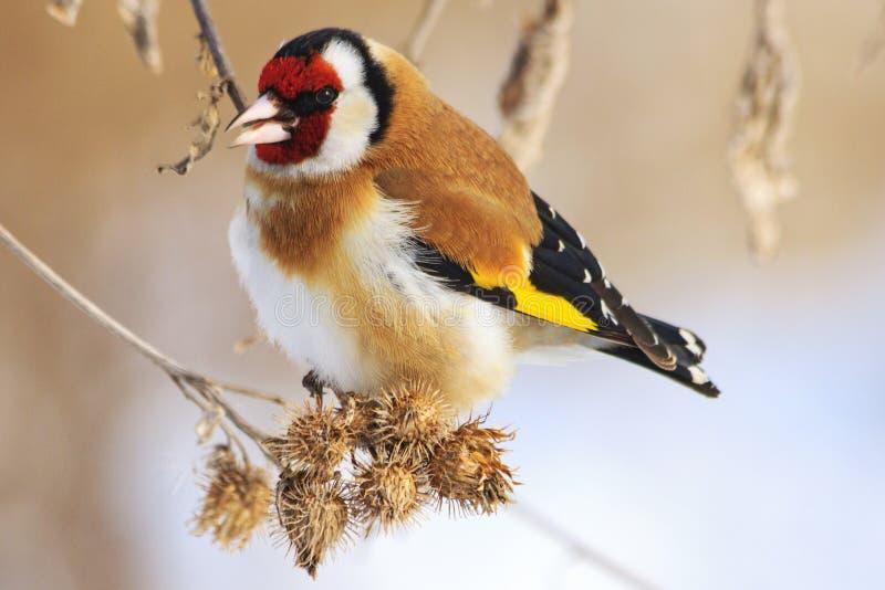 Goldfinch и холодная зима стоковая фотография