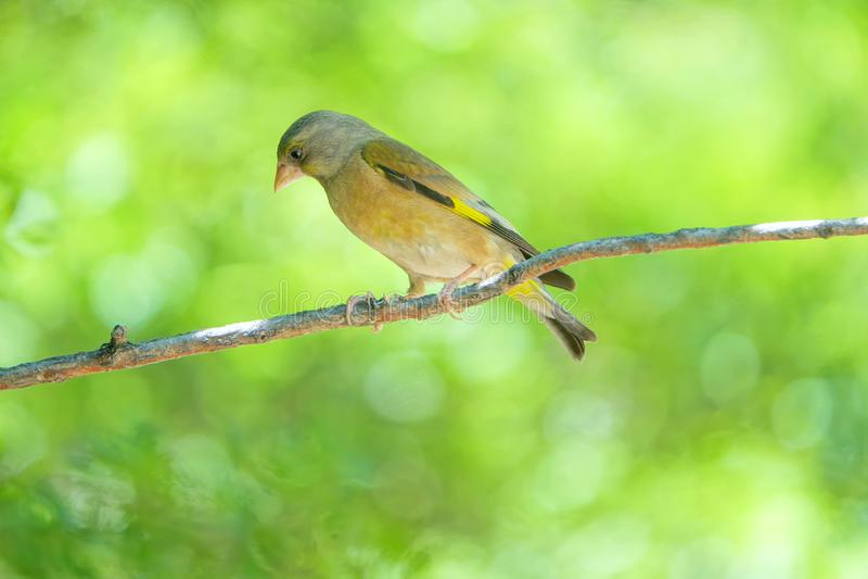 goldfinch стоковое фото rf