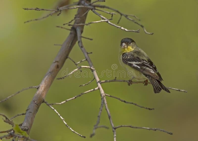 goldfinch меньшие стоковое изображение rf