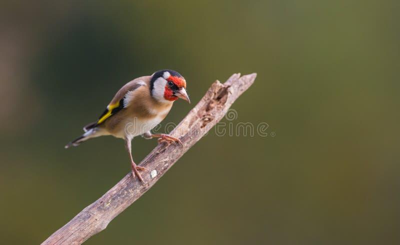 Goldfinch на ветви стоковые фотографии rf