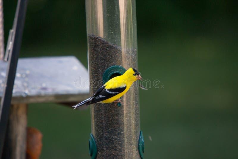 Goldfinch на фидере семени Thistle стоковая фотография rf