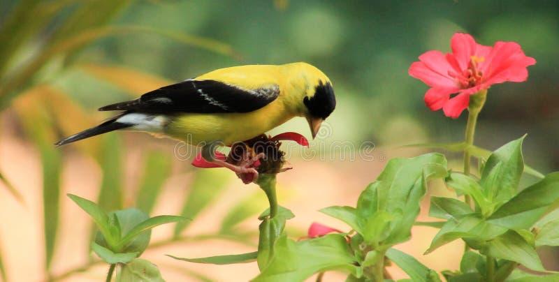 Goldfinch-цветок стоковые фотографии rf