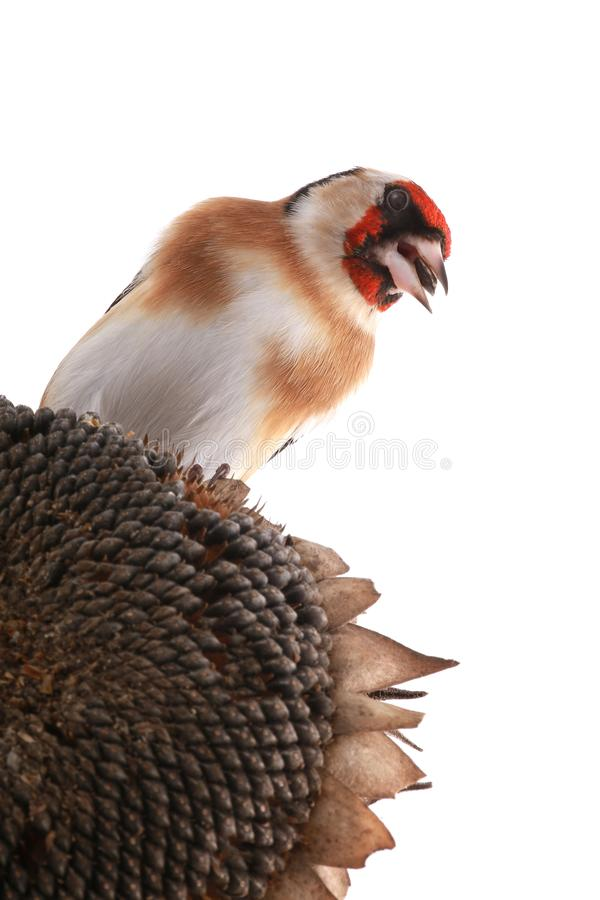 goldfinch fotografia de stock royalty free