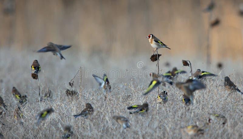 Goldfinch. fotografia stock