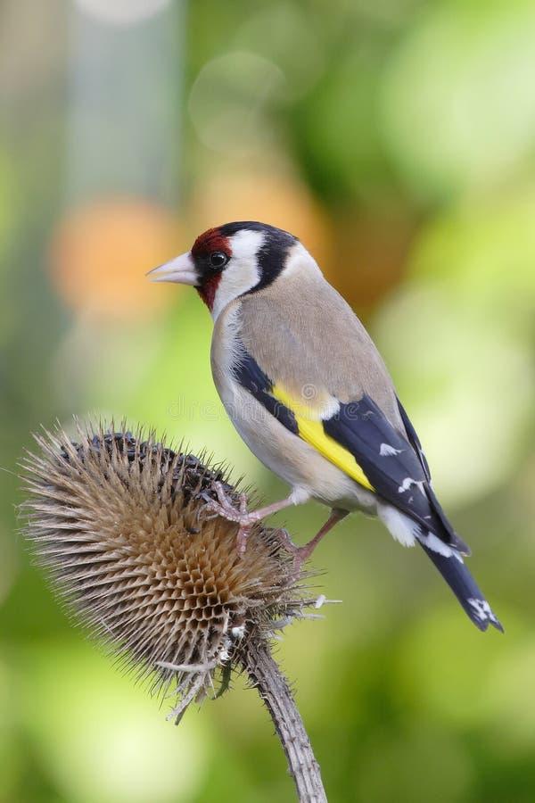 Goldfinch photo libre de droits