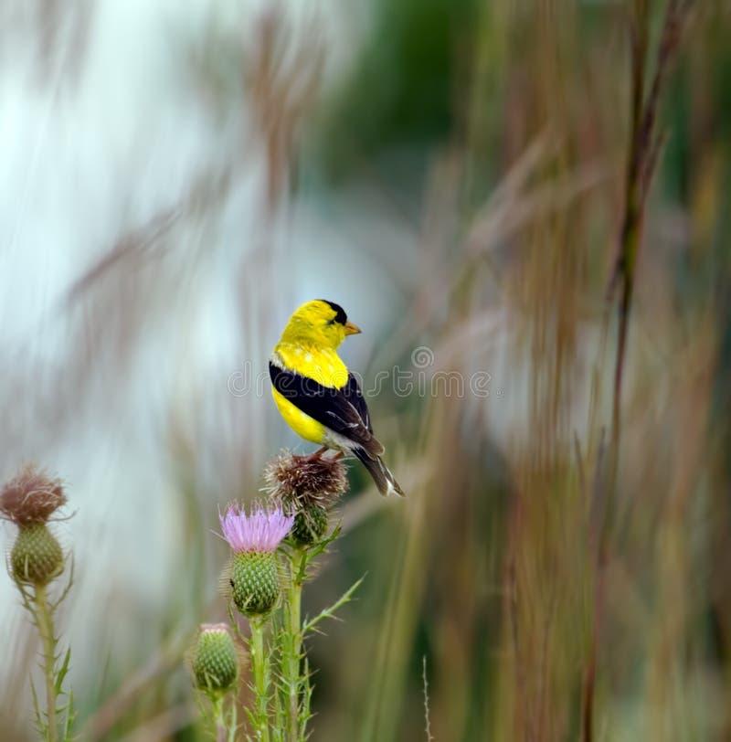 Goldfinch (3) fotos de archivo