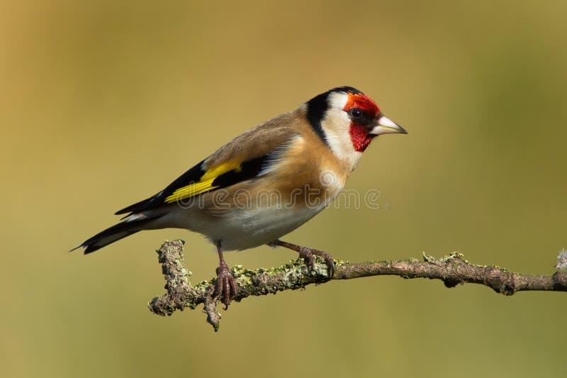 Goldfinch стоковая фотография rf