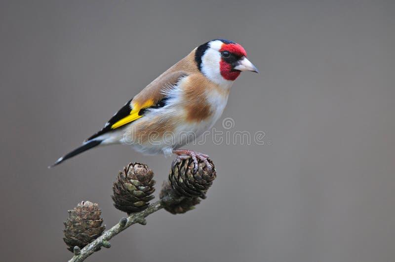 Goldfinch стоковое изображение rf