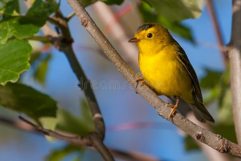 goldfinch fotos de archivo