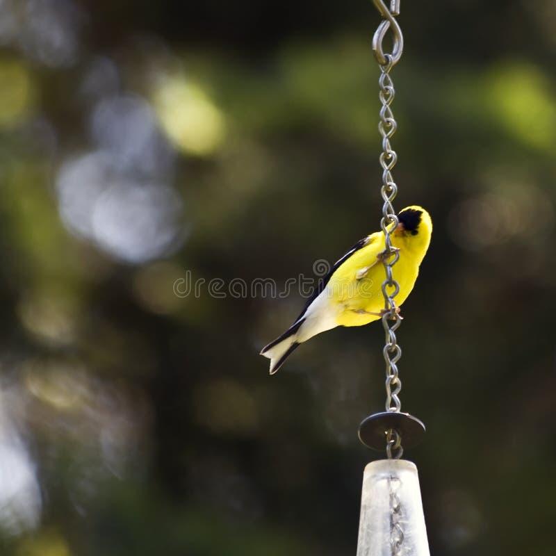 Goldfinch fotografía de archivo libre de regalías