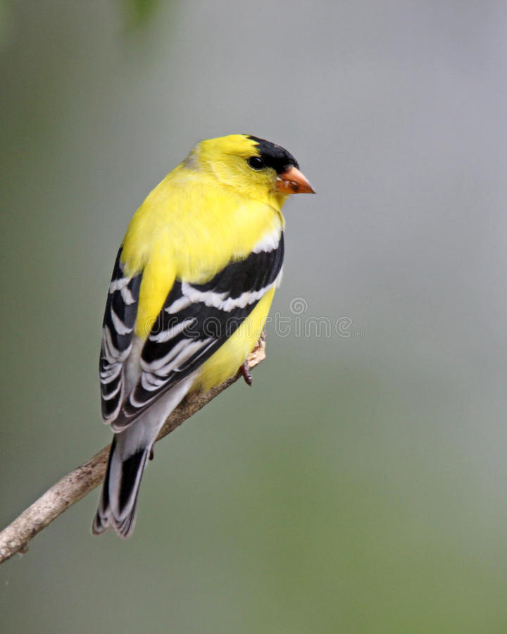 goldfinch royalty-vrije stock afbeelding