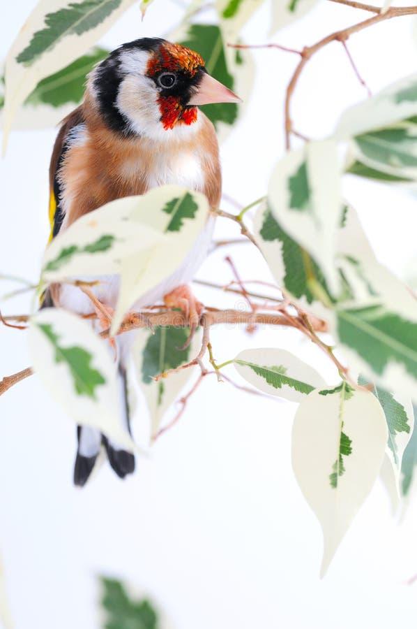 Goldfinch stockfoto