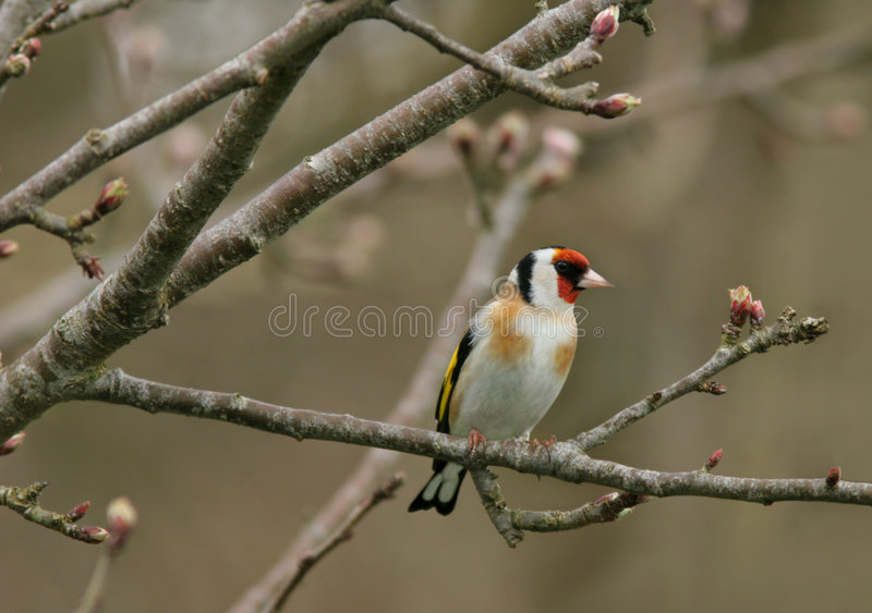 goldfinch стоковая фотография