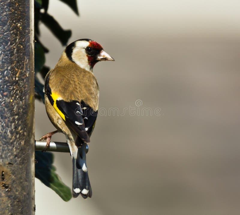 goldfinch royalty-vrije stock afbeelding