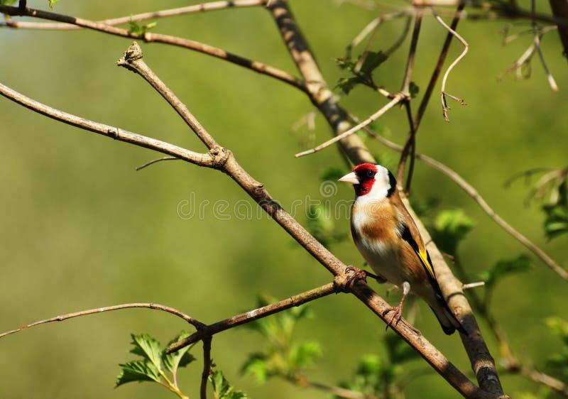 goldfinch fotografia stock