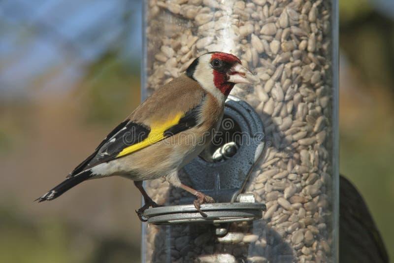 Goldfinch imagenes de archivo