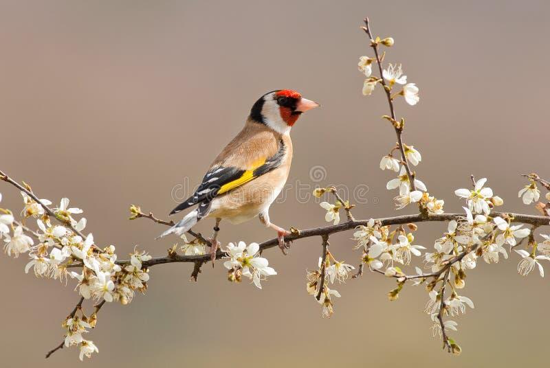 Goldfinch foto de archivo