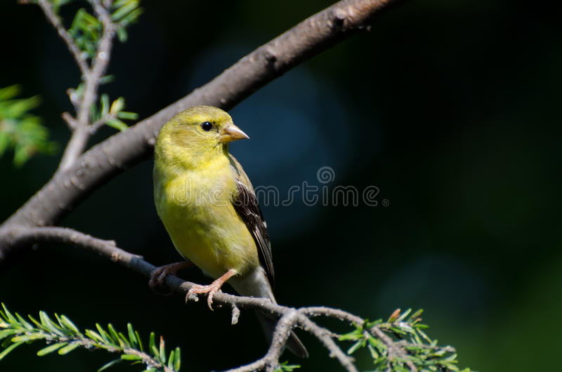 Goldfinch américain été perché dans un arbre photos libres de droits