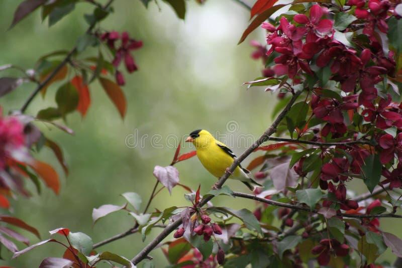 Goldfinch américain dans un arbre fleurissant de Crabapple image stock