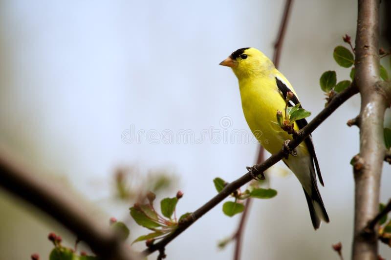 Goldfinch americano imagenes de archivo