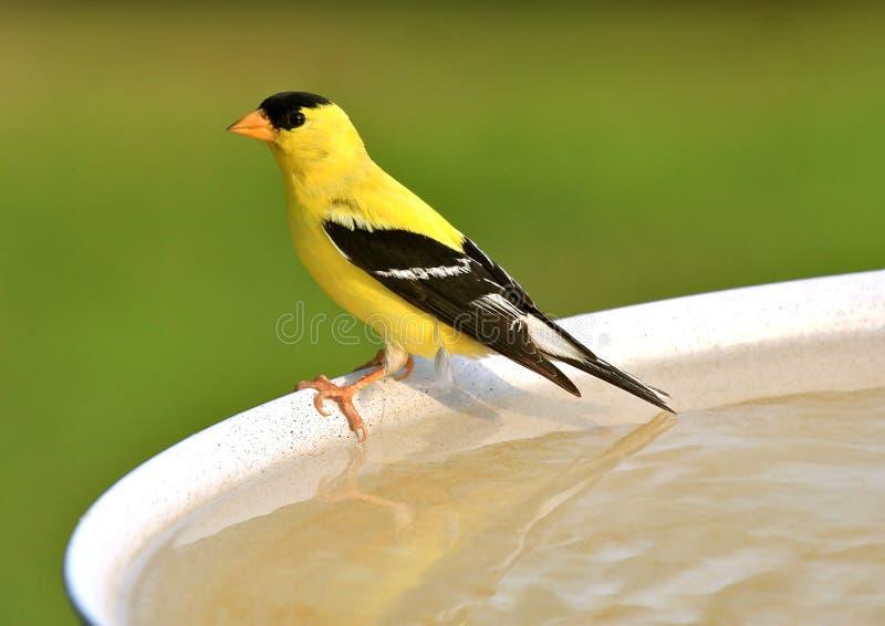 Goldfinch americano immagini stock libere da diritti