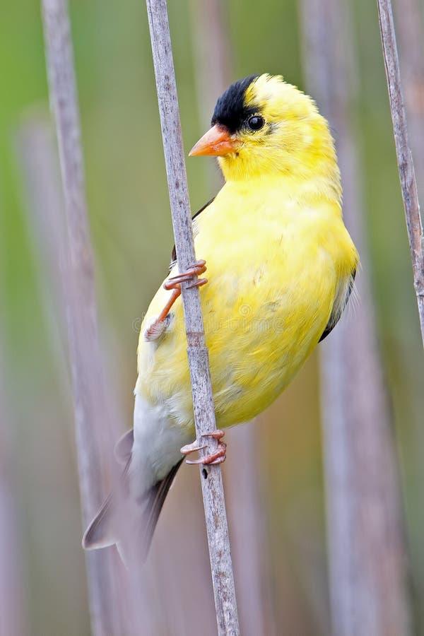 Goldfinch americano fotos de archivo
