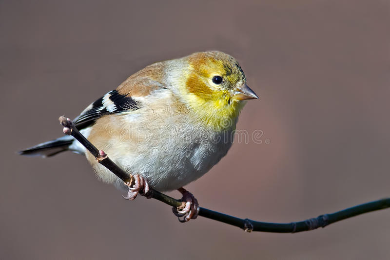 Goldfinch americano fotos de archivo libres de regalías