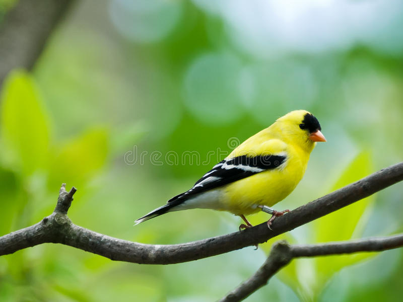 Goldfinch americano fotografia de stock royalty free