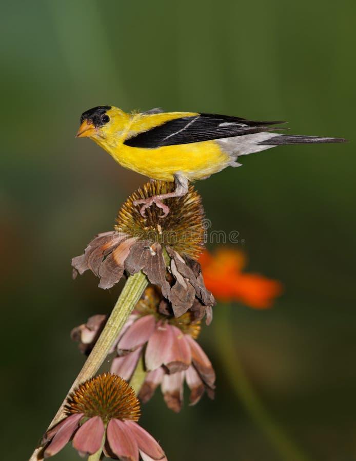 Goldfinch americano foto de archivo