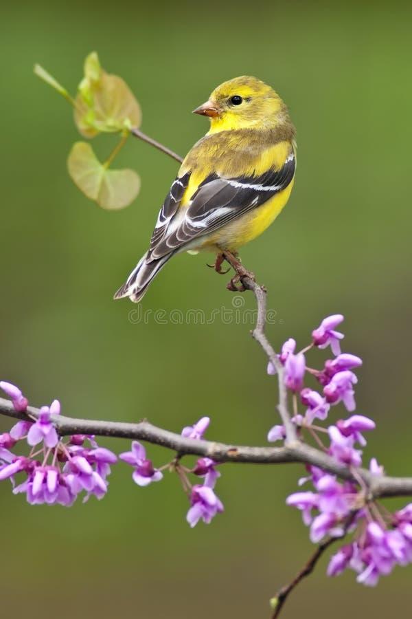 Goldfinch americano en Redbud fotos de archivo
